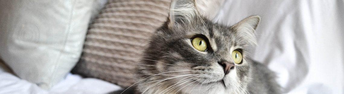 Hoe bestrijd je de geur van kattenurine?