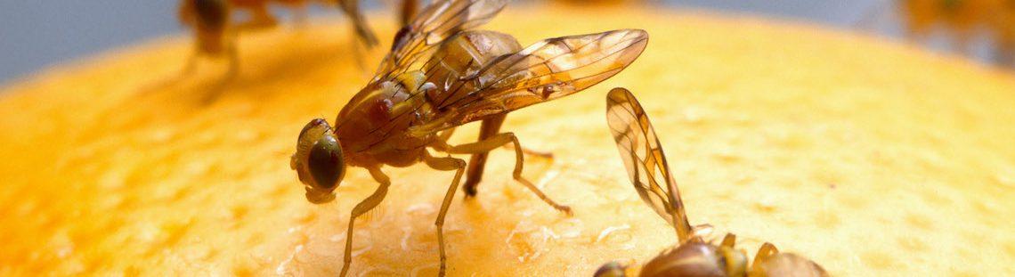 Zo krijg je fruitvliegjes weg
