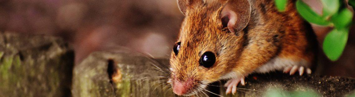 Ongedierte – Ratten en Muizen